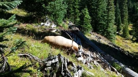 Wilderness Archery Bull Elk