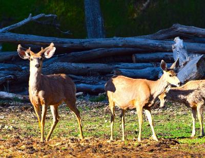 flat tops mule deer