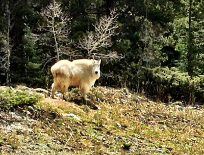 Colorado Mountain Goat Hunting
